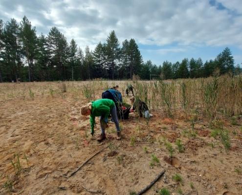 Žáci vytrhávají borovice